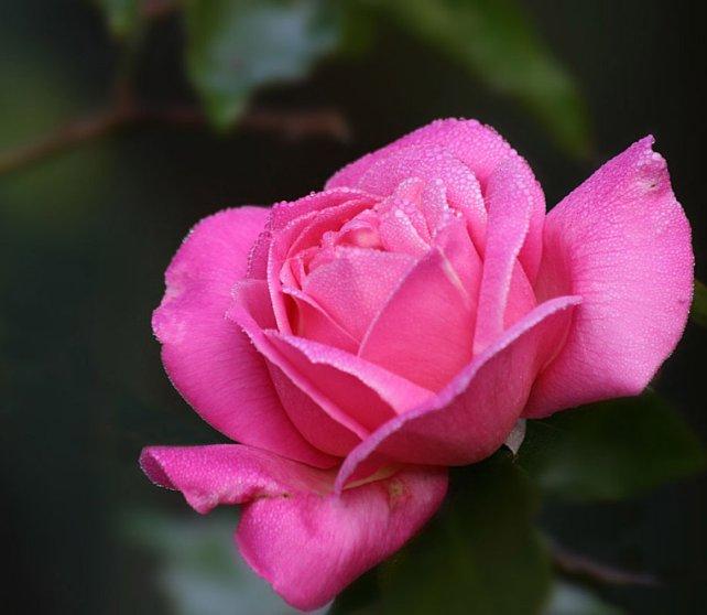 Bon Silene Rose